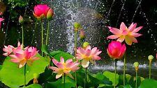 Liveseeds-bonsai laghetto di Loto/Ciotola LOTUS/NINFEA FIORE/Spring Lotus 5 Semi