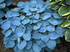 Hosta Hadspen Blue good slug resistance garden plant ex 9cm pot