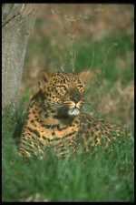 160007 Leopard Lying Down A4 Photo Print