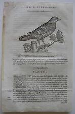 Brava Columba livia ORIG madera corte 1555 Belon ornitología