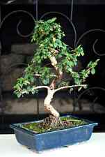 Bonsai Tree Fukien Tea Bonsai + Ceramic Pot indoor decoration flower Houseplant