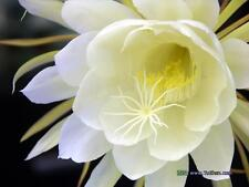 Queen of the Night Epiphyllum oxypetalum Live plant