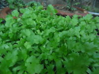 500 Fresh Cilantro/Coriander Seeds NON-GMO, USA Seller