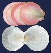 "Pink Sun Moon Scallop Half Shell~Craft Seashells~2""-2-1/2""~(Sele ct 12/24 Shells)"