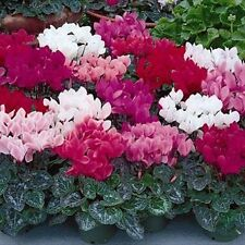 Cyclamen Flower Seeds, 50 seeds, mix colors