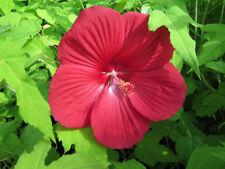 Hibiscus mos. 'Oak Red' - rote - 25cm XXL Blüten - Pflanze Winterharter Hibiskus