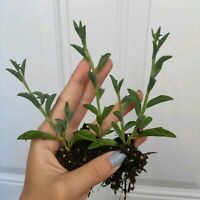 "Three Strands Senecio Peregrinus AKA String of Dolphin 3"" ship bare roots"