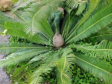 5 graines fraiches de Dioon Edule - Mexican sago palm fresh seeds