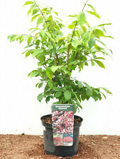 EUONYMUS alatus SUGHERO ala arbusto compactus 20-30cm