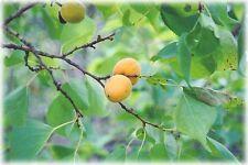 RARE 3 graines d' ABRICOTIER DE MANDCHOURIE(Prunus Mandshurica)H360 SEEDS SAMEN