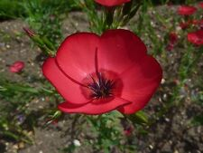 Linum grandiflorum rubrum  Herb SEED Culinary Herb Wonderful scarlet Flax flower