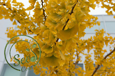 Golden Ginkgo Tree Rarely Ornamental Plants Home Garden Flowers Decor 5 Pcs