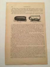 K142) Berkshire Suffolk Pig Swine Mammal Animal Kingdom 1894 Engraving