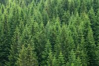 A1   Green Forest Poster Art Print 60 x 90cm 180gsm Pine Trees Nature Gift #8566