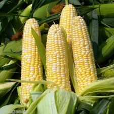 Golden Bantam 8-Row Corn Heirloom Seeds - Non-GMO - Untreated - Open Pollinated!