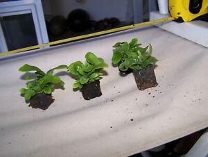 3 Staghorn Fern plug Netherlands Platycerium Bifurcatum Stag Elk Horn orchid air
