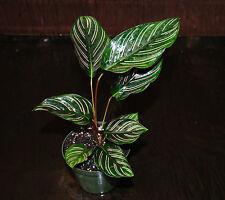 NEW~Prayer Plant~Calathea Ornata Gorgeous Plants Excellent Tropical Houseplant