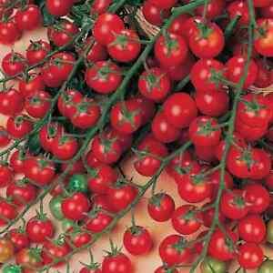 Tomato Cherry Sweet Million F1 - 15 Finest Seeds - 1st Class