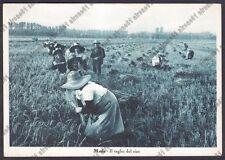 MONDINE 300 MONDARISO RISO RISAIA AGRICOLTURA - MEDE Cartolina viaggiata 1953