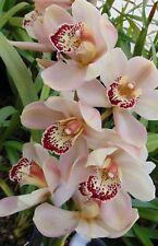 Cymbidium orchid Large Seedling of the Stunning Cronulla The Khan