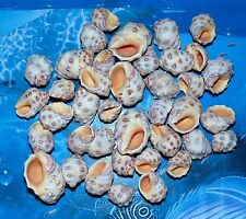 1/2 POUND YELLOW DRUPA SEA SHELLS BEACH  DECOR NAUTICAL CRAFT TROPICAL