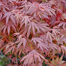 Acer Palmatum Hardy Tree Pot Plant 1 x 7cm Potted Large Tree T&M