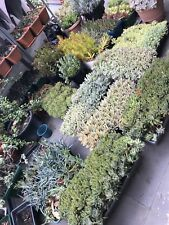 Free Post Cheap SUCCULENTS 20 Different cuttings, No repeat!  No Jada