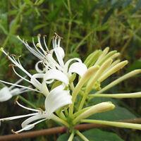 50Pcs Chinese Honeysuckle Vine Lonicera japonica Samen Pflanzen Neu