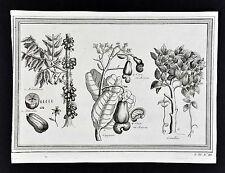 1746 Prevost & Schley Botanical Print Tropical Fruit Cashew Caju Cinnamon Brazil