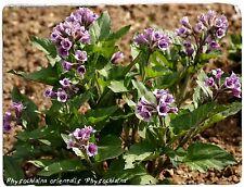 Physochlaina orientalis 'Physochlaina' RARE! 10 SEEDS