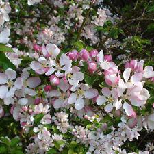 2 x fruit TREES}1 Cherry tree +1 Apple tree-pot grown,pretty blossom,heavy crops