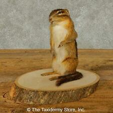 #16330 E | Chipmunk Life-Size Taxidermy Mount For Sale
