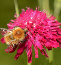 New listing Knautia, Pincushion Flowers, 118 Seeds* Mixed, Red, Pink, Lavender, Ez To Grow