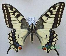 Papilio machaon Linnaeus, 1758 Czech 62mm22b