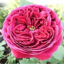 Beautiful Red Piano Rose Flower Seeds 80 SEEDS --BUY 4 ITEMS FREE SHIPPING