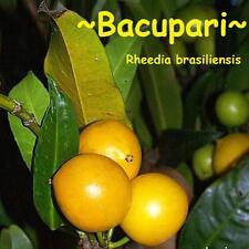 ~Bakupari~ Rheedia brasiliensis Rare Fruit Tree Brazil Live small Starter Plant