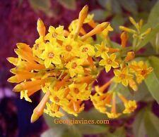 Cestrum aurantiacum Orange Peel  pint plant FREE SHIP