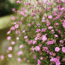 50pcs Cut Flower Pink Baby's Breath Seeds Gypsophila Original Packaging Seed