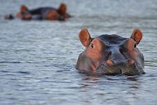 HIPPO HIPPOPOTAMUS WILDLIFE POSTER PRINT STYLE B 18x36 HI RES 9 MIL PAPER