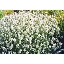 10 x  Lavender Ellagance Snow herbaceous READY TO PLANT OUT