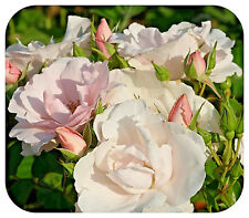 Scented Rose Bush Bare Root Plant 'Margaret Merrill' Floribunda Double Roses