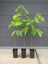 2 Asimina triloba - PawPaw- Indianerbanane - winterharte Pflanze 20-40cm Frucht