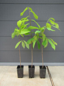 2 Asimina triloba - PawPaw- Indianerbanane - winterharte Pflanze 80-110cm Frucht