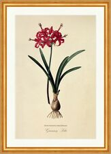 Guernseylilie Nerine Sarniensis Amaryllidaceae Lily Knolle Blatt Redoute 120