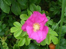 6 ROSE / Copertura. ROSA RUBRA &, ALBA, sprinoissima, INERMIS, VIRGINIANA, CANINA
