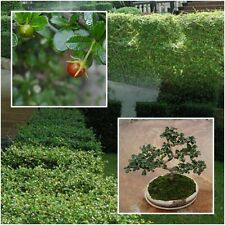Carmona retusa 100 Seeds, Fukien tea tree Philippine tea tree Dwarf Bonsai Decor