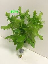 Live Exotic Aquatic Fresh Water Bundle Plant Hygrophila difformis B074