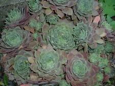 Hardy Hens And Chicks Sempervivum Desert Bloom Succulent~5 Plants (Chicks)