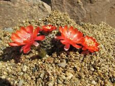 Kaktusy Cactus,Rebutia Mediolobivia yuncharasensis LF 375