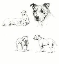 Staffordshire Bull Terrier - 1963 Vintage Dog Print - Matted